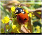 Title: Seven-spot Ladybird for *FOOZI*Olympus C-5060WZ