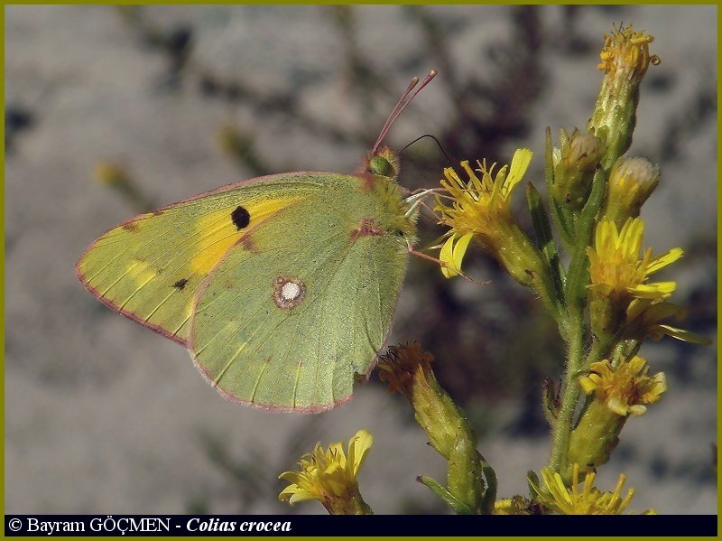 Clouded Yellow Butterfly for *Silvio*