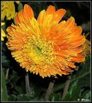 Title: Gerber's Daisy for *Barbara*Olympus C-5060WZ