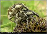 Title: Mating Pair of Thistle WeevilOlympus C-5060WZ