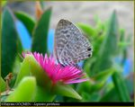 Title: Lang's Short-tailed BlueOlympus C-5060WZ