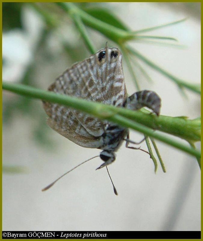 Lang's Short-tailed Blue #2