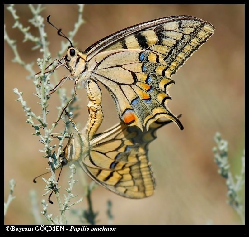Common Yellow Swallowtails in-love:)