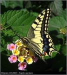 Title: The Old World SwallowtailOlympus C-5060WZ