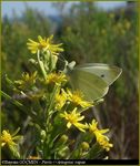 Title: Small Cabbage White for *norenastramus*Olympus C-5060WZ