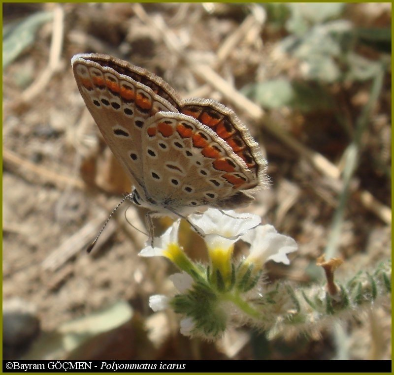 Common Blue for *tsesler*