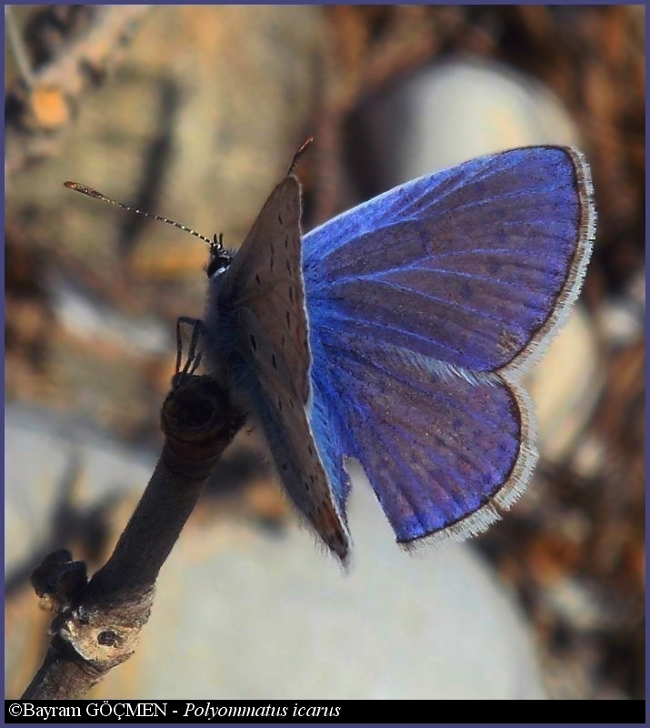 Male Common Blue for *Hayati*