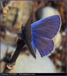 Title: Male Common Blue for *Hayati*Olympus C-5060WZ