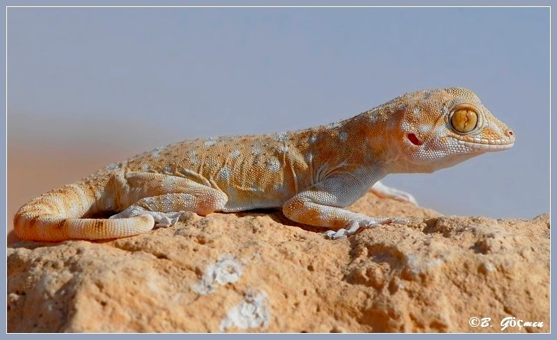 Spotted Fan-footed Gecko