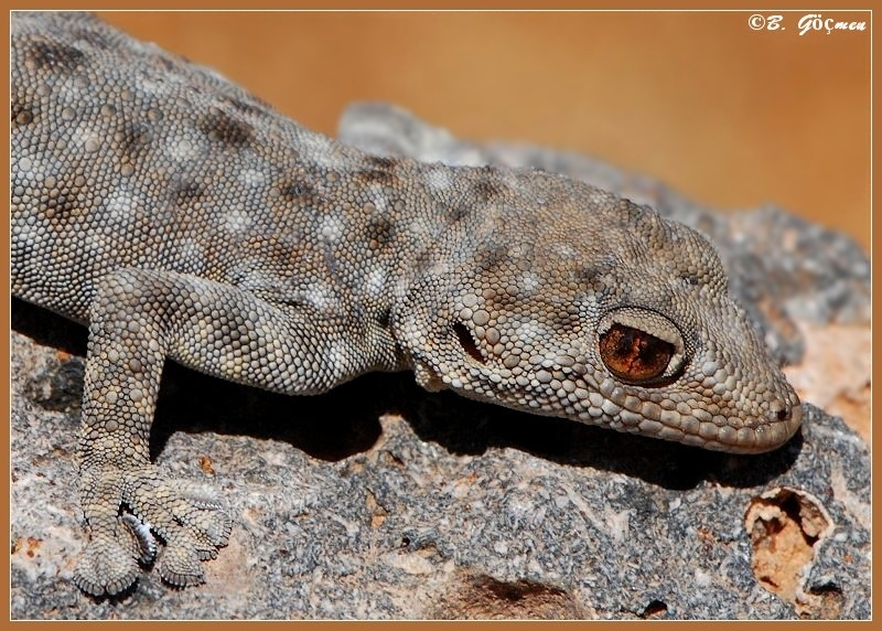 Portrait of Lady Levant Fan-footed Gecko