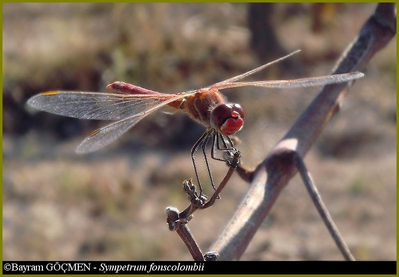 Mature Male Red-veined Darter