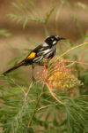 Title: New Holland Honey Eater