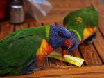 Title: Parrots at Pearl