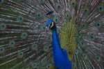 Title: Peacock