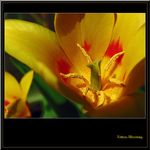 Title: For Tulip lovers (^_^)Canon Powershot Pro 1