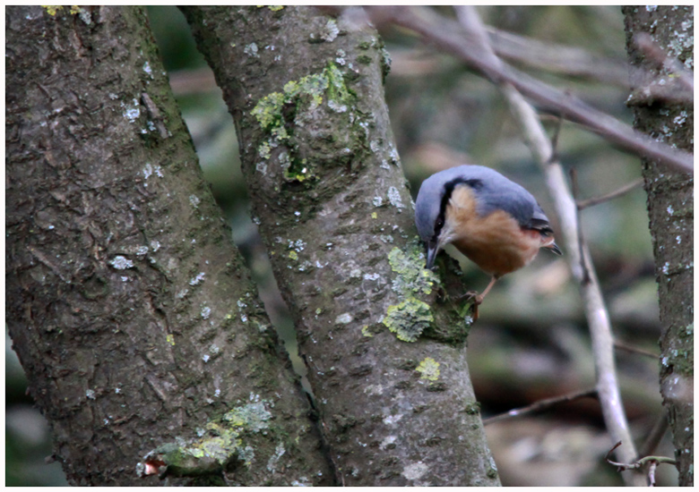 Nuthatch for Werner
