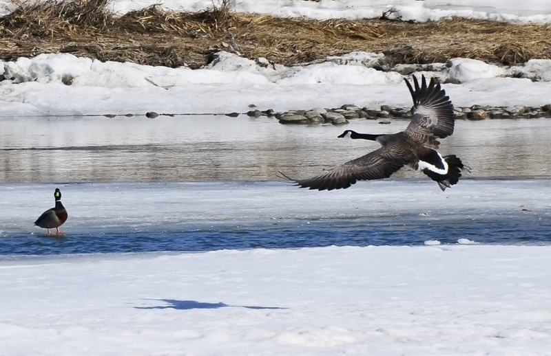 Canada Goose Landing on Bow River