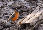 Title: American Robin at Inglewood