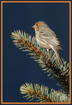 Title: Male House Finch