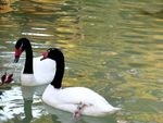 Title: Black-Necked Swanscanon A650is