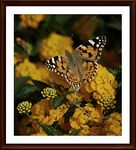 Title: A Painted Lady for hAyAti  (hay kes)Nikon D90