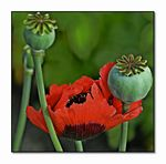 Title: Poppy and buds