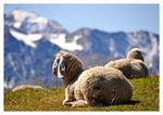 Title: Sheep on the Mountains