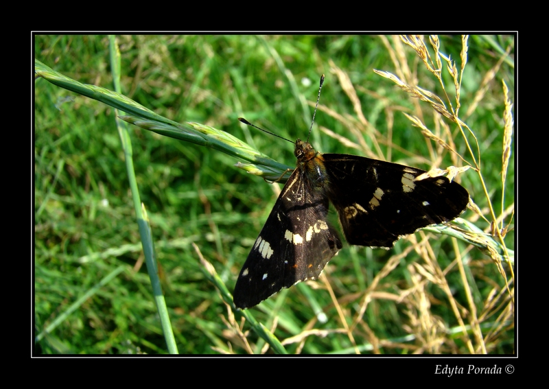 Map butterfly **