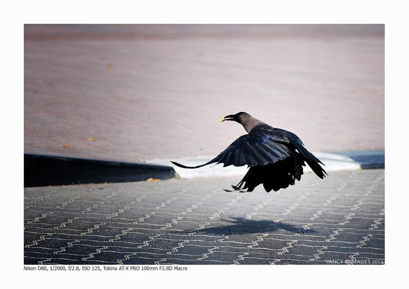 Raven Fly...