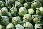 Title: my cabbage