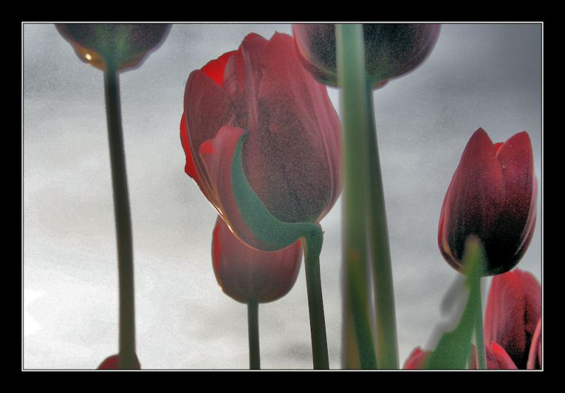 tulip time in trabzon