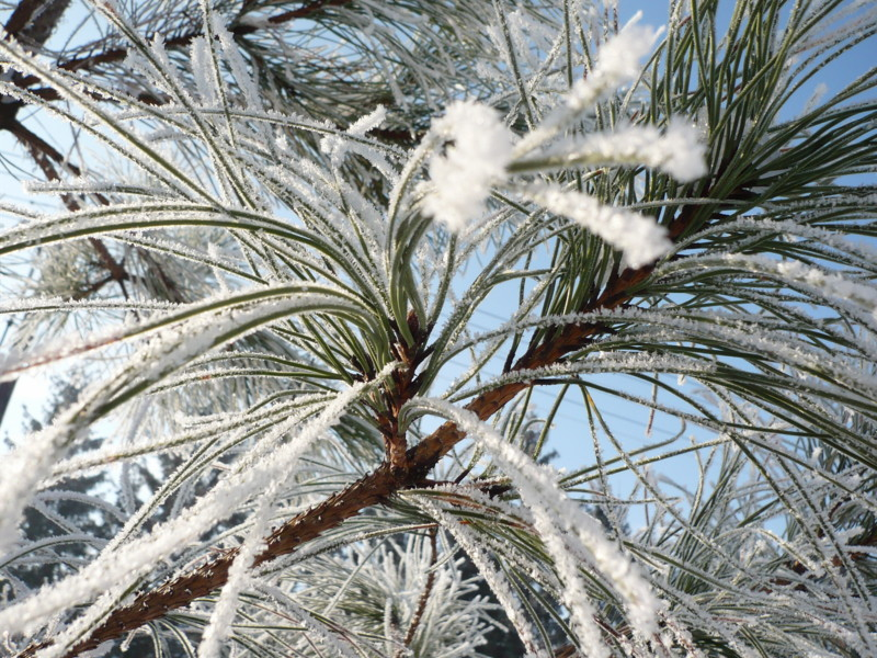 Frosty branches of a pine tree