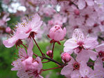 Title: Cherry Blossoms in the RainNikon Coolpix L1