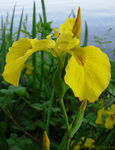 Title: Yellow Iris on the LagoonNikon Coolpix L1