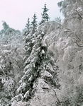 Title: snowy forest