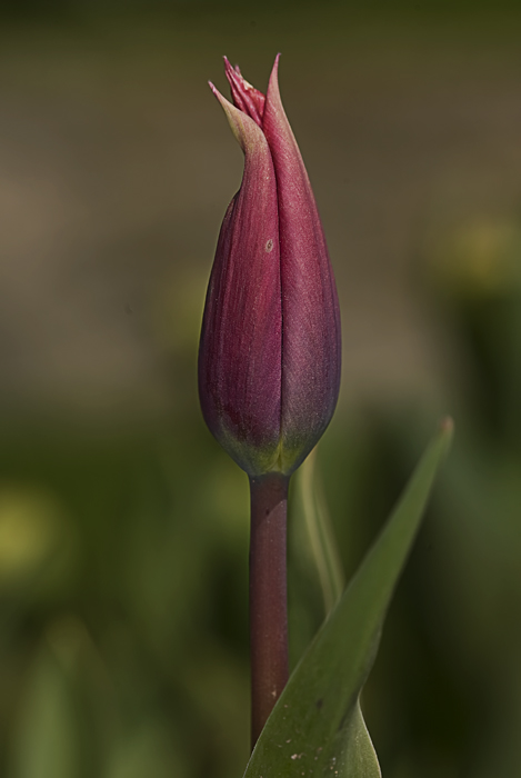 The Tulip of Istanbul