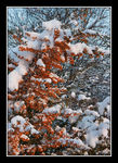 Title: Snow and cotoneaster