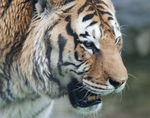 Title: Tiger_1