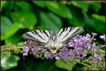 Title: Scarce Swallowtail (Breaking the Thirds)