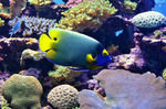 Title: Blueface Angelfish