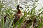 Title: Whistling Duck