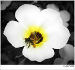 Title: Black bee in white flowerCanon SX 110 IS