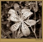 Title: Sepia Flower 6Canon SX 110 IS