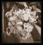 Title: Sepia Flower 7Canon SX 110 IS