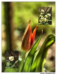 Title: Is the time of tulips