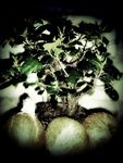 Title: bonsai with coconuts