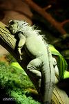 Title: The great iguana