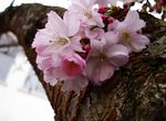 Title: Diagonal Side of Cherry BlossomsSony Cybershot DSC-P150