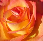 Title: Rose for Rose