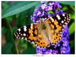 Title: Vanessa cardui with Buddleia flower